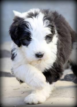 Cheap Health Insurance >> *Sheepadoodle Puppies* Non shedding; hypoallergenic for Sale in Fort Worth, Texas Classified ...