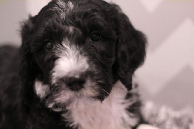 Sheepadoodle For Sale In Washington Classifieds Buy And Sell In