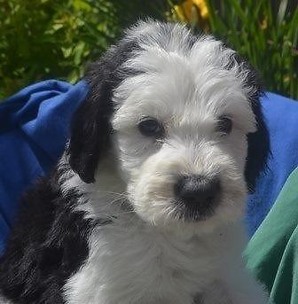 sheepadoodles old english sheepdog and poodle cross for sale in