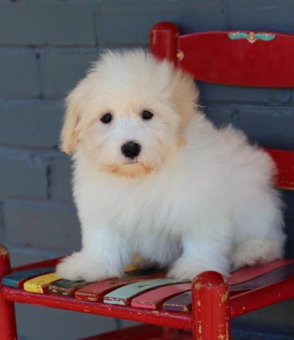Shelby Havanese Puppy