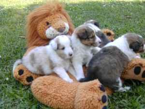 Sheltie Puppie Farm Dogs Mystic For Sale In Ottumwa