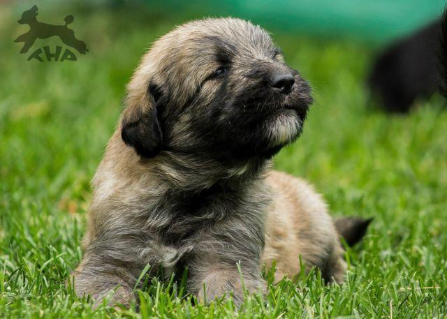 Shepadoodle Puppies German Shepherd X Poodle Hybrid For