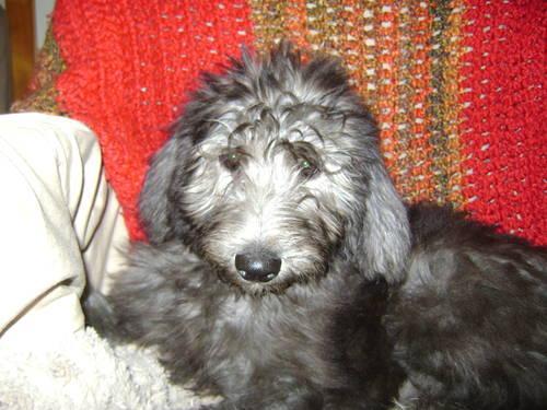 Shepadoodle Puppies Service Dog Bloodlines Crateleash