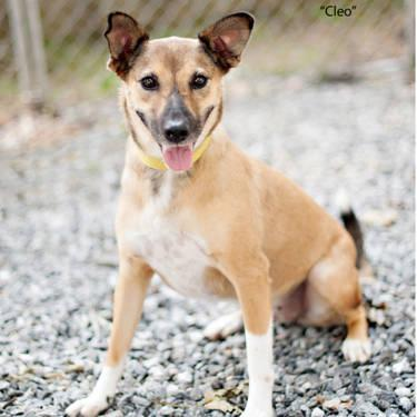 Shepherd - Cleo Ct - Medium - Young - Female - Dog