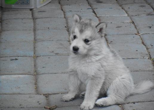 Wolf Hybrid Pups Pets And Animals For Sale In The Usa Puppy And