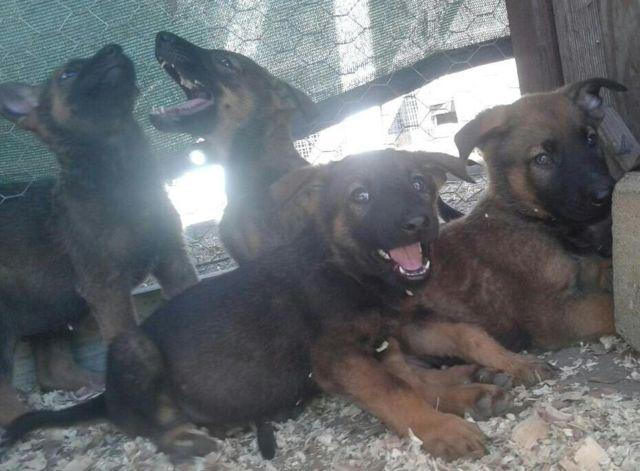 Shepinois German Shepard Belgian Malinois Puppies 8