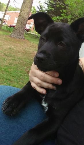 Sheprador Black Lab And German Shepherd Mix Female Puppy For Sale