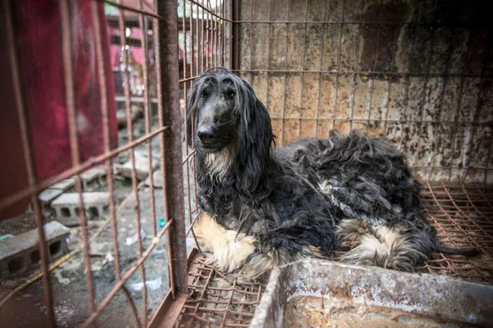 Sherry Afghan Hound Young Adoption Rescue For Sale In