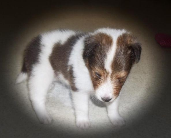 SHETLAND SHEEPDOG PUPPY SABLE & WHITE MALE SHELTIE
