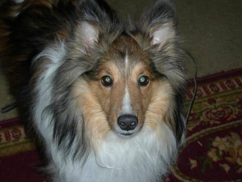 Shetland Sheepdog Sheltie - Jackson - Small - Young -
