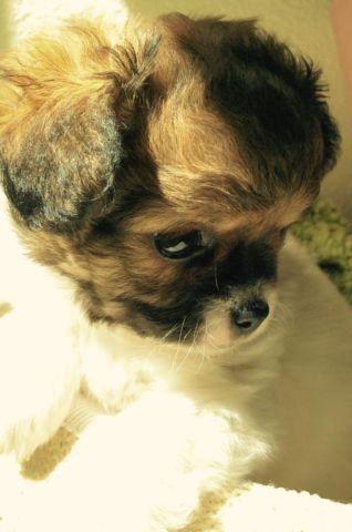 Shi Chi Shih Tzu Long Hair Chihuahua For Sale In Sacramento