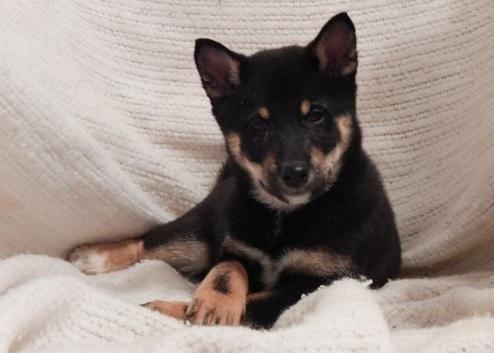 Shiba Inu female puppy- READY NOW!!