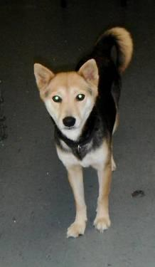 Shiba Inu - Layla - Small - Adult - Female - Dog