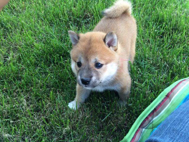 Shiba Inu Puppies Pets And Animals For Sale In Virginia Puppy And