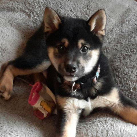 Shiba Inu Puppies Pets And Animals For Sale In Ohio Puppy And