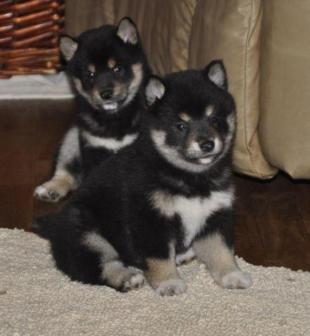 Peekapoo Puppies For Sale In Georgia Classifieds Buy And Sell In