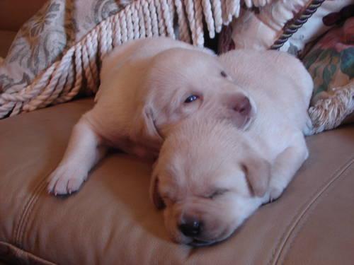Shiba Inu Puppy For Sale In Virginia Beach Virginia Classified