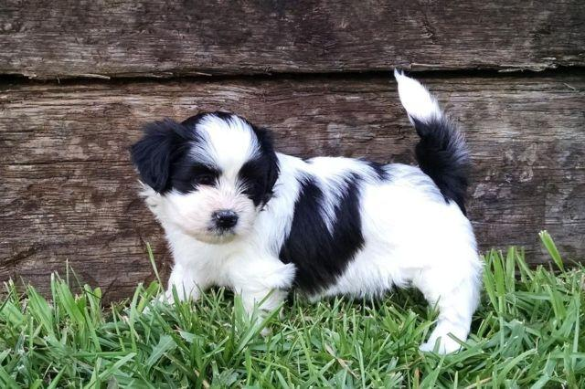 Shichon Puppy- Layla~On Hold