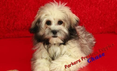 Shichon Puppy For Sale Adoption Rescue For Sale In Hickory North