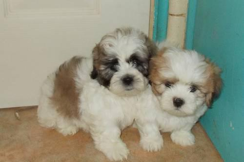 SHICHON (Teddy Bear) Puppies