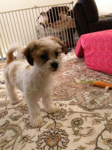 Shichon/ Teddy Bear Puppy for sale 8 months