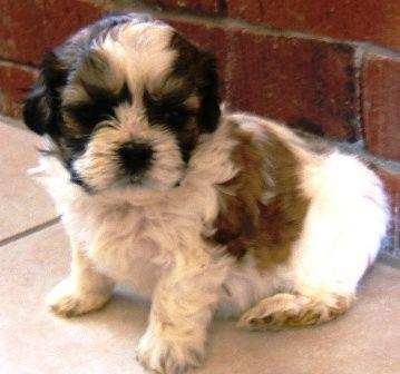 Shichon Puppies on Shichon Puppies For Sale In Rockville  Nebraska Classified