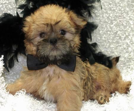 Shiffon Puppies Brussels Griffon Amp Shih Tzu Mix For Sale