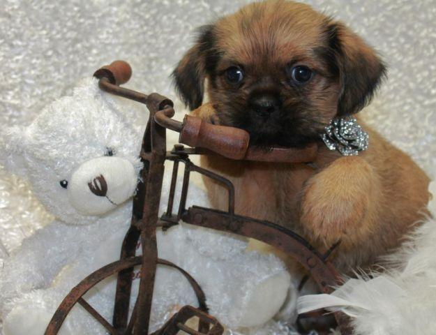 Shiffons Shih Tzu Brussels Griffon For Sale In Conway Springs