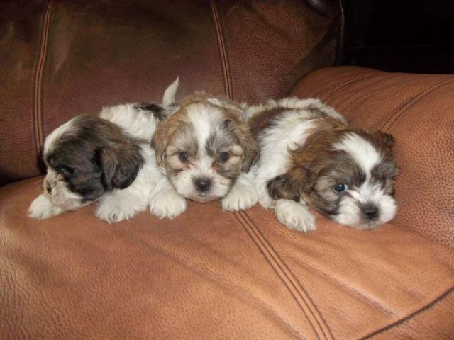 Shih Chon Teddy Bear Puppies Akc Shih Tzu X Akc Bichon For Sale In