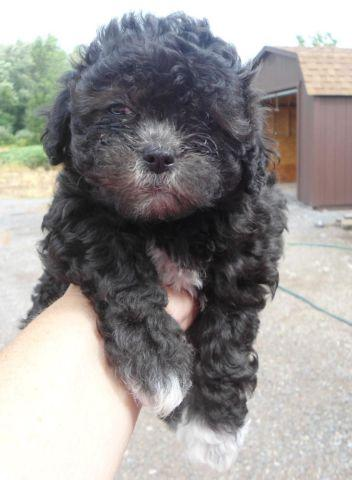 Shih Poo Puppies For Sale In Byron New York Classified