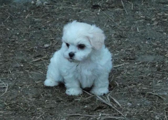 Shih tzu poodle mix for sale mn