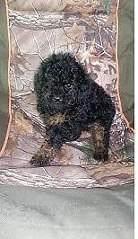 Shih-Poo Puppies