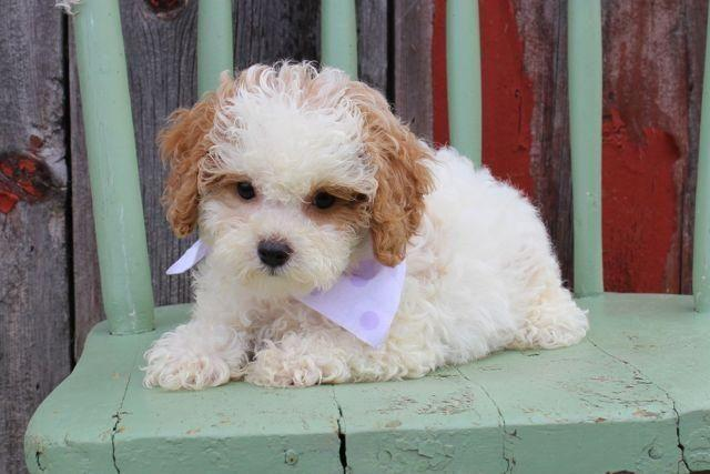 Shih Poo Puppies Cute For Sale In Eden Valley Minnesota