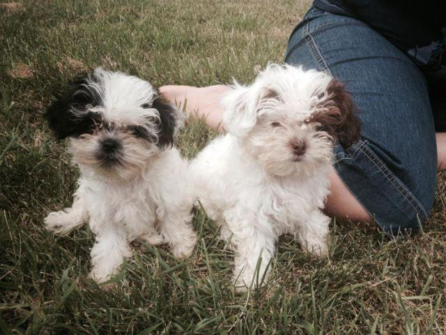 Shih poo puppies male female white with brown black 12 for Old black and white photos for sale