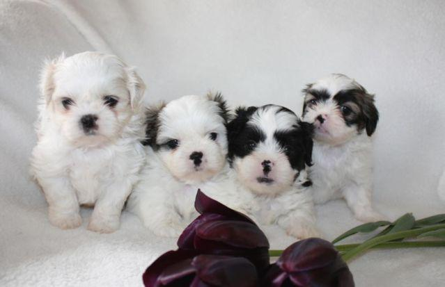 Shih Poo Puppies Shih Tzu X Toy Poodle Mix For Sale In Edgewood