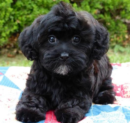 Shih Poo Shih Tzu Toy Poodle Puppies 2 Males 1 Female