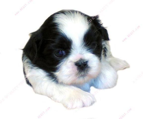 akc shih tzu puppies for sale shih tzu akc puppy quot grapple quot b w female for sale in 5125