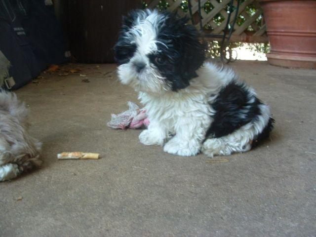 Shih Tzu Akc Puppy Male Blkwhite Tanwhite Guaranteed All