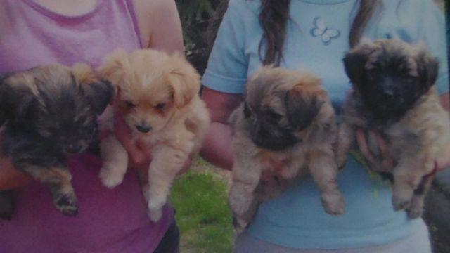 Shih Tzu And Pomeranian Mix Puppies For Sale In Trego Wisconsin