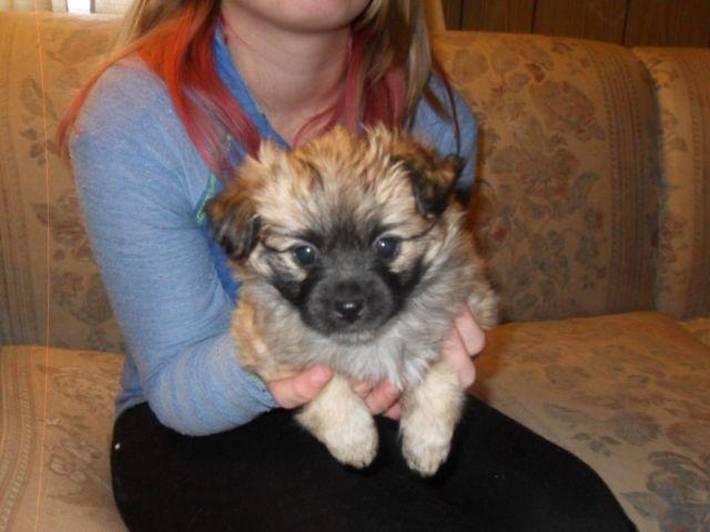 Shih Tzu And Pomeranian Mix Puppys For Sale In Trego