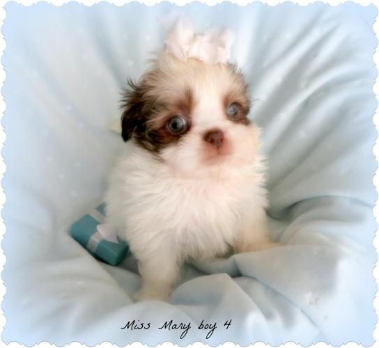 Shih Tzu Baby Boys Ckc For Sale In Ocala Florida Classified