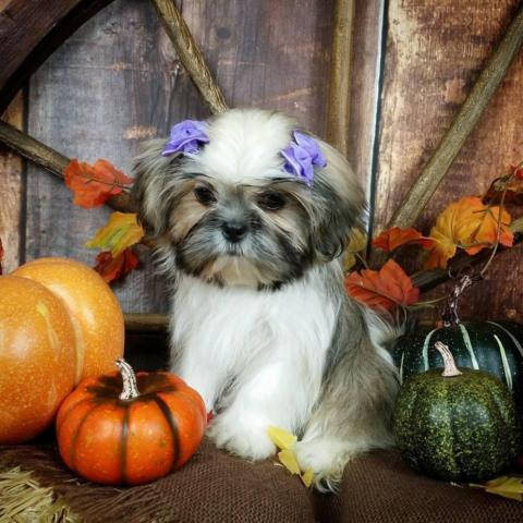 shih tzu puppies for sale in sacramento shih tzu baby girl for sale 2423