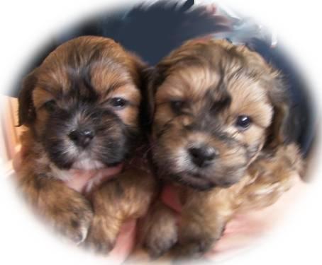 Shih tzu/bichon mix pups