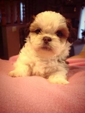 Shih-Tzu/Bichon puppies for sale! (Teddy Bear Breed)