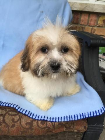 Shih Tzu Bichon (Teddy Bear) male