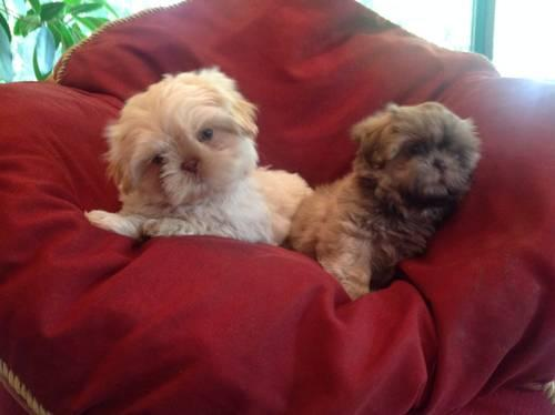 Shih Tzu Boston Terrier Mixed Puppies For Sale In Canton