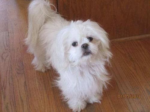 Shih Tzu - Bubbles - Small - Young - Female - Dog