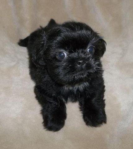 Shih Tzu Chihuahua Mix Puppies Females