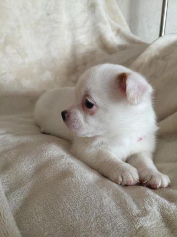 Shih Tzuchihuahua Mix Puppy