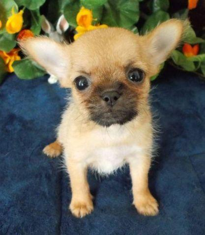 Shih Tzu Chihuahua Mix Puppy Female For Sale In Dallas Texas